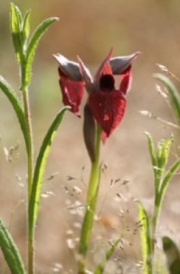 Le orchidee di Monte Rufeno