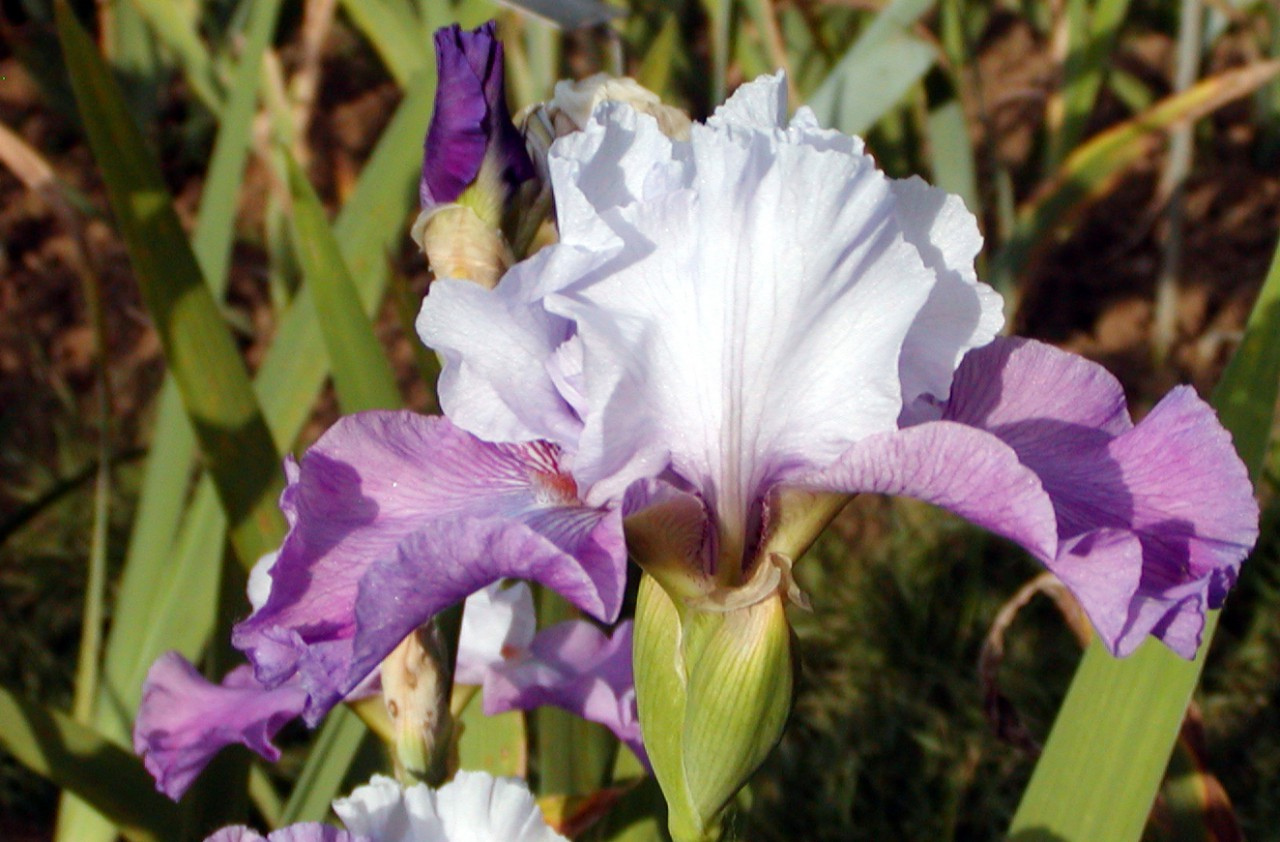 Le iris tra botanica e storia