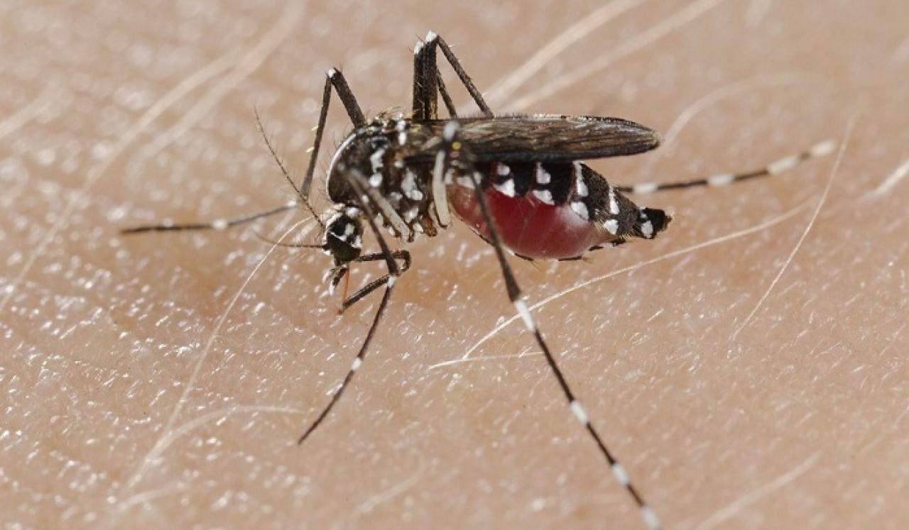 La zanzara tigre non trasmette il Covid-19