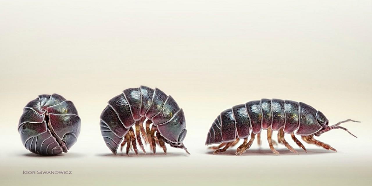 Un laboratorio vivente sulla evoluzione dal mare alle terre emerse: il caso degli isopodi terrestri
