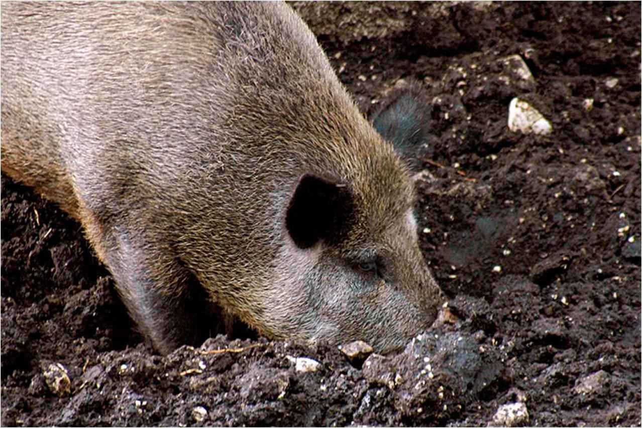 Dal cinghiale sardo allo scoiattolo di Pallas