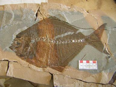 FOSSILI MAI VISTI. Bolca: le nuove scoperte scavi 2004-2010