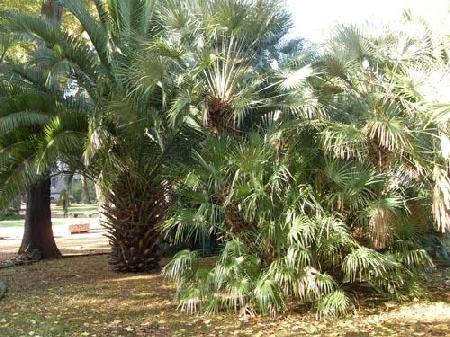 Parliamo di Palme ? La collezione di Arecaceae dell?Orto Botanico di Firenze - Giardino dei Semplici