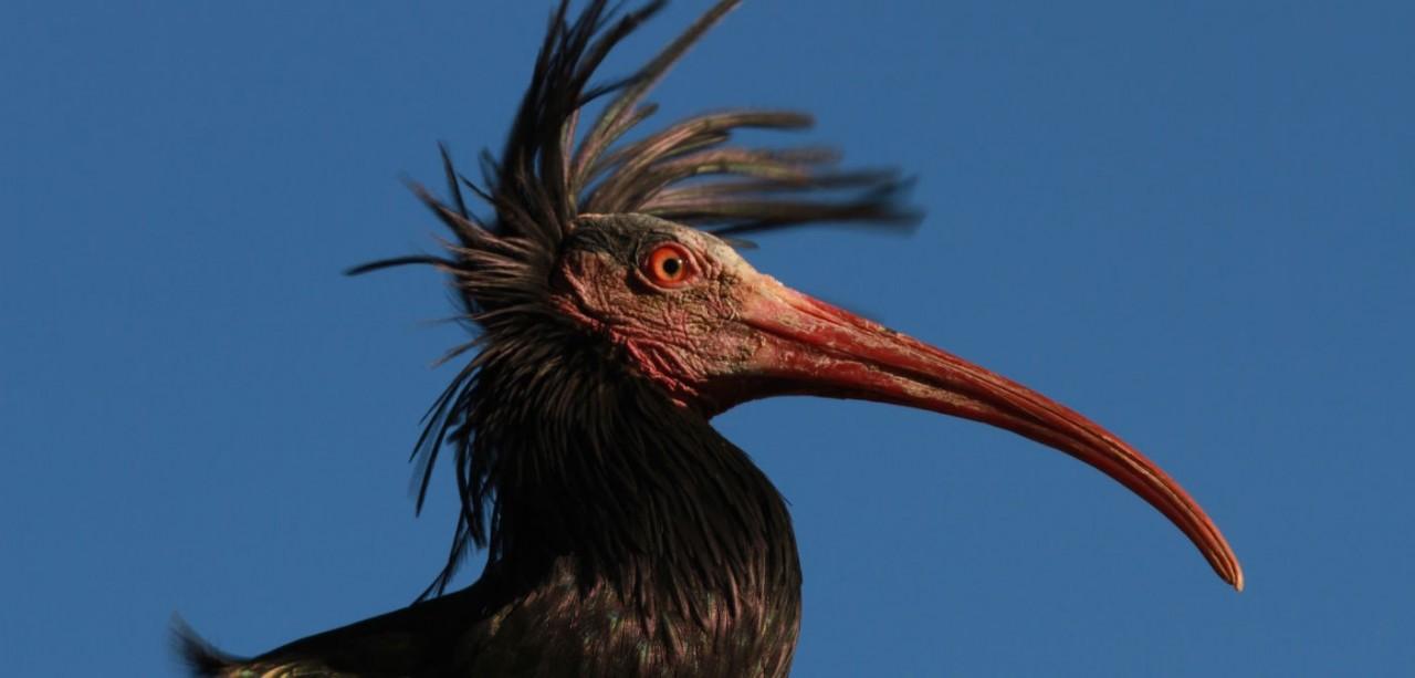 Il ritorno dell'Ibis Eremita in Europa: il progetto di reintroduzione che sta riportando questa rarissima specie nei nostri cieli