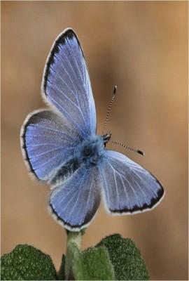 Farfalle di Liguria: endemismi e peculiarità della fauna regionale
