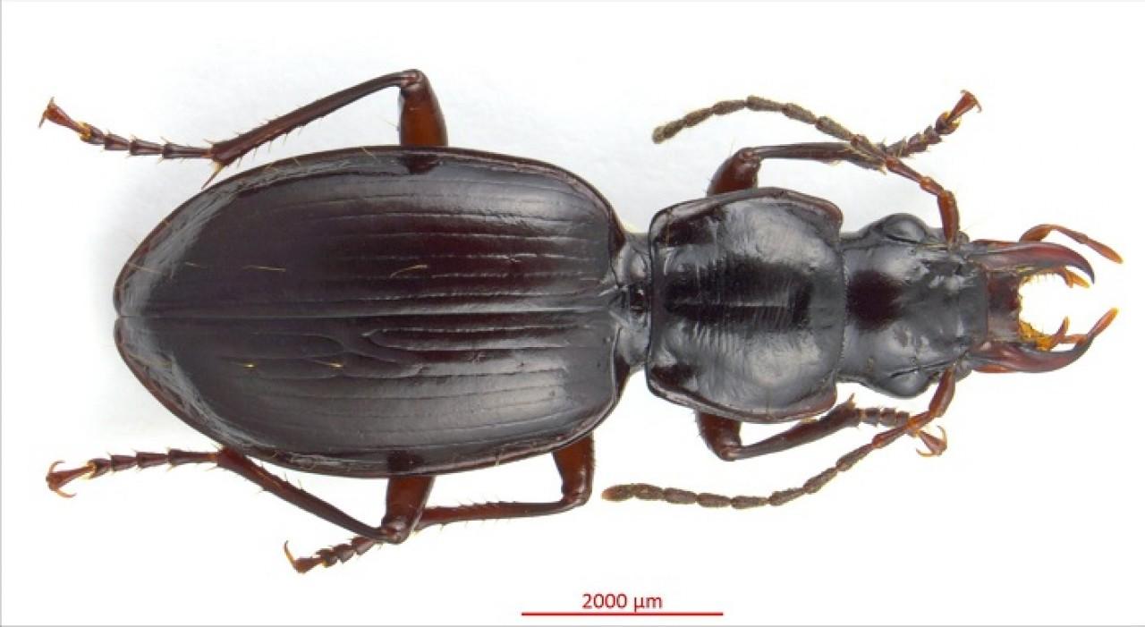 Scoperta una nuova specie di insetto: il Dyscolus gobbii