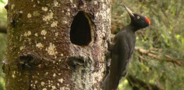I picchi e la biodiversità forestale. Tornano gli Incontri al museo per parlare di fauna
