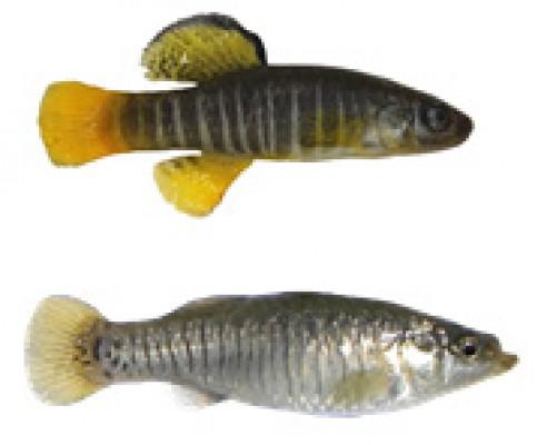 L'importanza dei canali artificiali della Laguna di Venezia per la conservazione del 'nono' (Aphanius fasciatus)