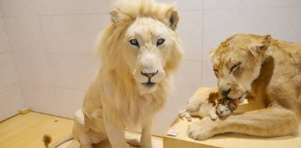 Blanco, il leone candido, da oggi al MUSE