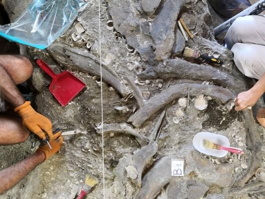 Brunella: una balenottera del Pliocene a Montalcino