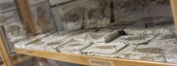 I tesori della Sala dei pesci di Bolca: il caso della Titanonarke molini, una razza elettrica di 49 milioni di anni fa