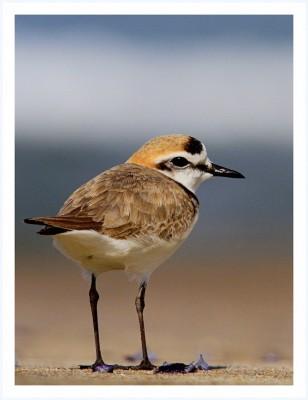 Incontro per scoprire il Fratino, un uccello in via d'estinzione
