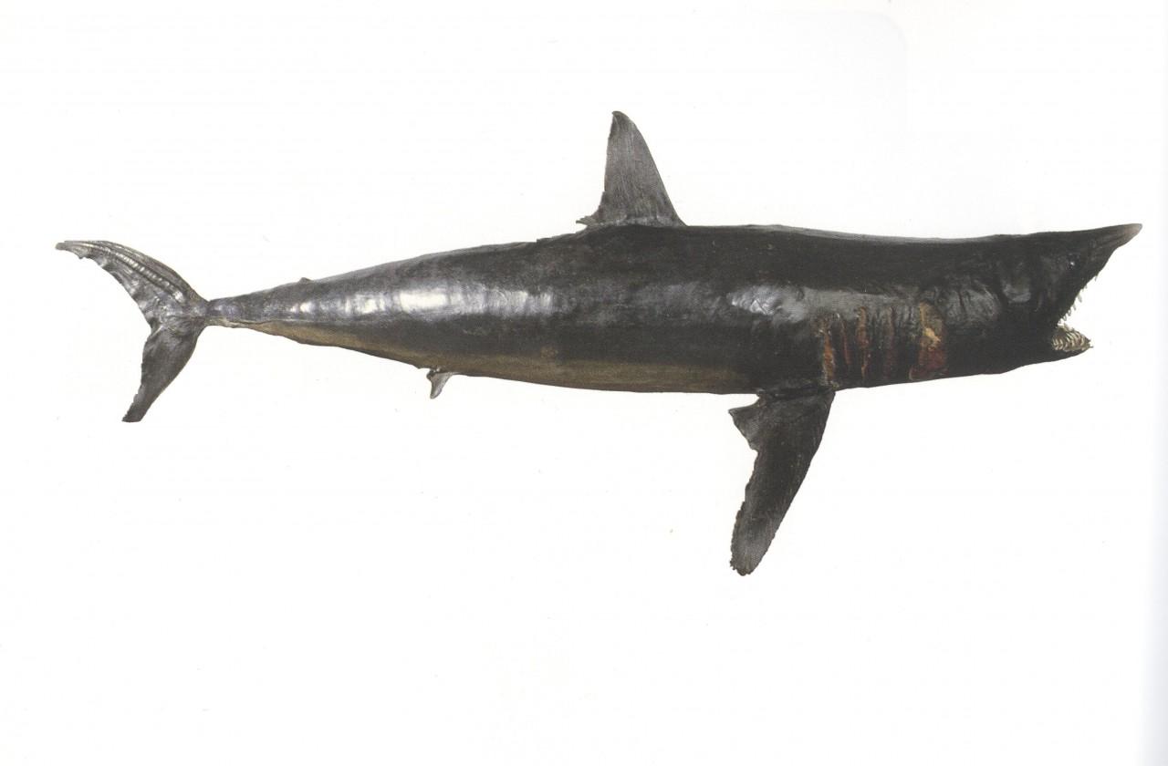Apertura con lo squalo!