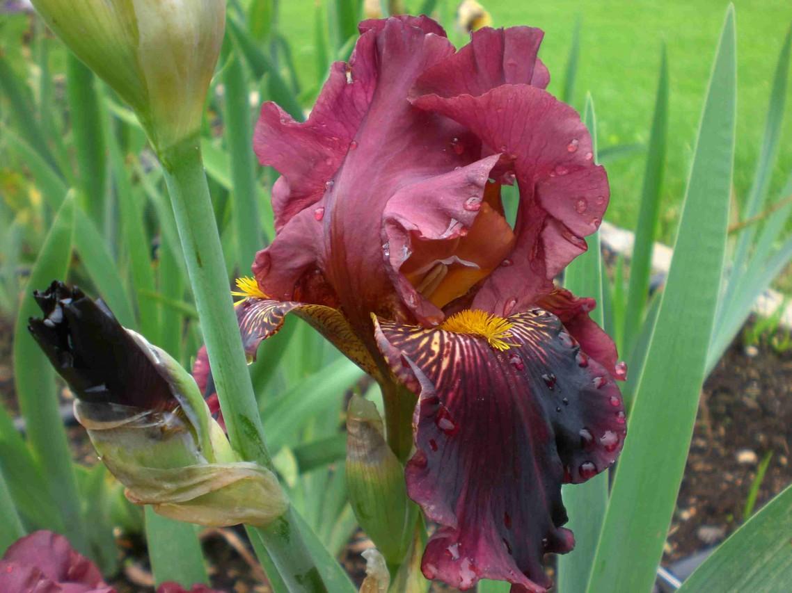 SCOPRIRE I FIORI DELL'ARCOBALENO:  LE IRIS.    Grandi e bambini alla scoperta delle coloratissime iris