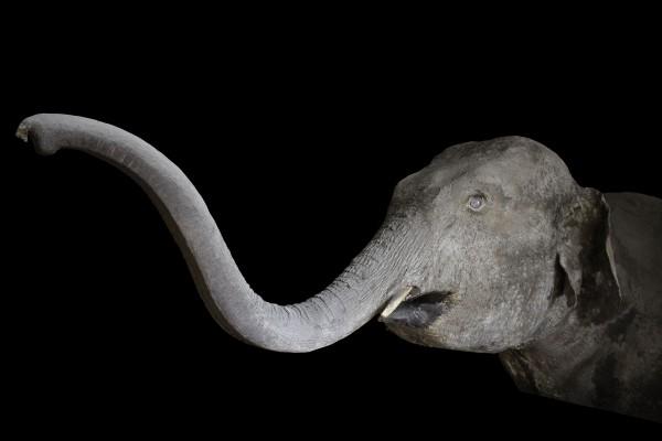 E Napoleone ci donò un elefante